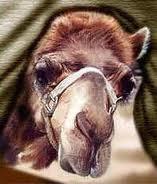 camels-nose-inside-the-tent
